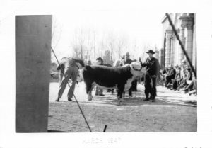March, 1947. Men in cowboy hats with cattle in front of the Exchange Building. From the Alice Petersen estate collection. Digitized by Evalogue.Life 2017.