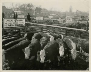 1926 pens with cattle at the Ogden Union Stockyards. Sign reads Carload fat Steers owned and grown by Bar R Ranch Bert Rudd Irwin, ID, for sale by Peck Bros. Livestock Com. Co. Special Collections Department, Stewart Library, Weber State University