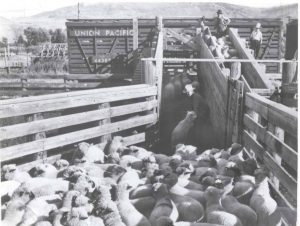 sheep being loaded up the concrete ramps onto a Union Pacific rail car at the Ogden Union Stockyards. Special Collections Department, Stewart Library, Weber State University