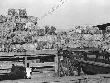 Calf inside a pen with hay in the background at the Ogden. Union Stockyards. Photo obtained from Don Strack.