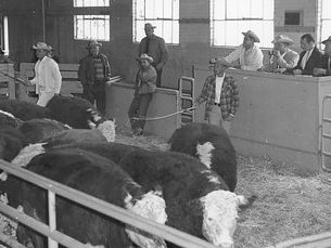 Live auction inside the ring at the Ogden Union Stockyards. Auctioneer and other men in the ring with cattle. Photo obtained from Don Strack