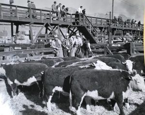 Inside pens at the Ogden Union Stockyards, cattle stand. At the back of the pen are three men wearing cowboy hats, working jackets and two have ties on. One man is on a horse with a lasso. Above on the catwalk, men in hats and overcoats look down. Special Collections Department, Stewart Library, Weber State University