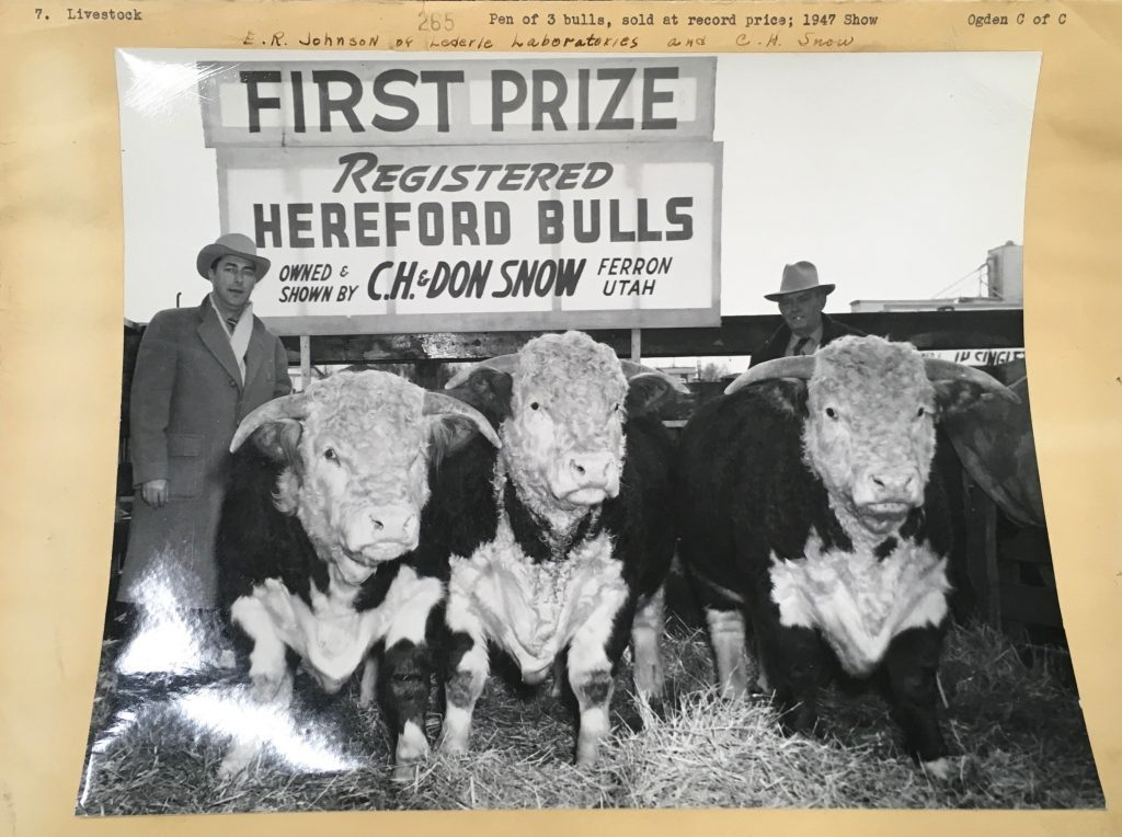 "Man with his Hereford bulls with a sign reading, ""First prize, Registered Hereford Bulls"" from the Ogden Union Stockyards. Photo credit Special Collections Department, Stewart Library, Weber State University"