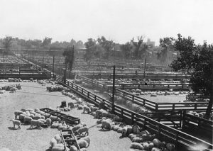 Sheep in pens at the Ogden Union Stockyards. Thank you to Don Strack for generously sharing this photo, part of his extensive gallery.