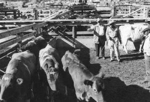 Two men wearing cowboy hats stand with cattle inside pens at the Ogden Union stockyards. Thank you to Don Strack for generously sharing this photo, part of his extensive gallery.