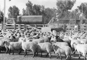 Sheep and R.J. Wight truck at the Ogden Union Stockyards. Thank you to Don Strack for generously sharing this photo, part of his extensive gallery.