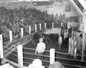 Cattle inside the auction ring at the Ogden Union Stockyards. The gallery bleachers are full. Thank you to Don Strack for generously sharing this photo, part of his extensive gallery.