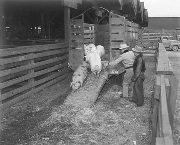 Hogs being unloaded from a truck at the Ogden Union Stockyards. Photo obtained from Don Strack.