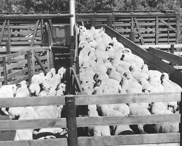 Sheep being loaded into rail cars up the concrete loading ramps. Ogden Union Stockyards. Thank you to Don Strack for generously sharing this photo, part of his extensive gallery.