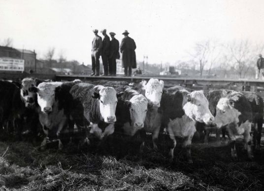 Cattle in the stockyards with men standing on the catwalk. Special Collections Department, Stewart Library, Weber State University